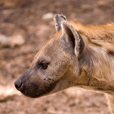 No Laughing Matter: Unlovable Hyenas Are Threatened in the Wild