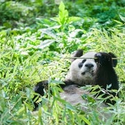 Trouble in the Bamboo after Pandas Dropped from Endangered List