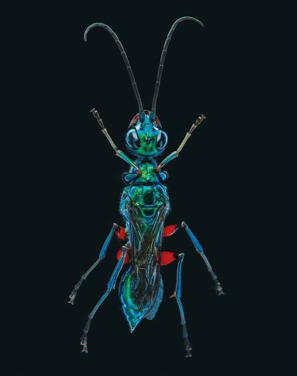 How a Wasp Turns Cockroaches into Zombies