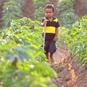 A Cambodian boy, Sa, walks a cassava field at Pailin District near the Thai border. The area appears to be the site of origin of artemisinin-resistant strains of Plasmodium falciparum.
