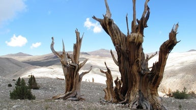 Warming Puts Squeeze on Ancient Trees