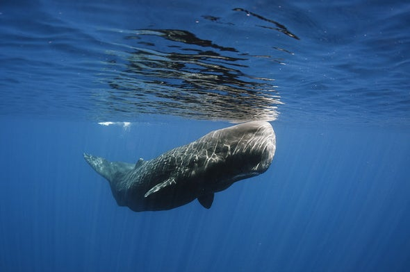 World's Whaling Slaughter Tallied at 3 Million