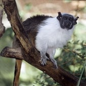 Pied Tamarin <i>Saguinus bicolor</i>