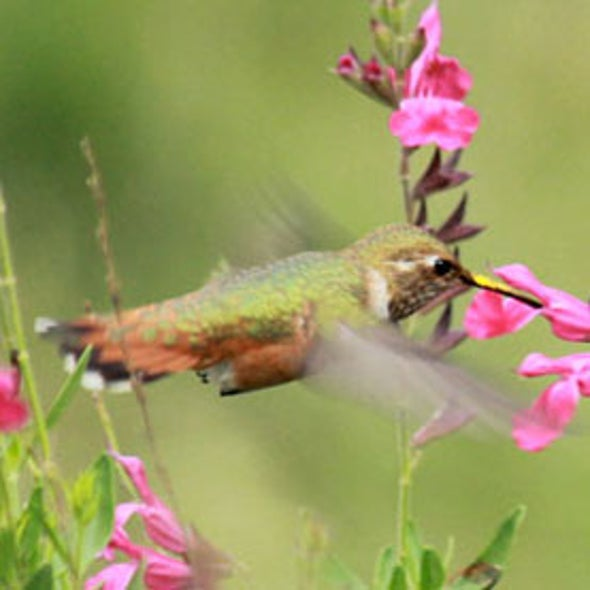 Hummingbirds Tracked During U.S. Southwest's