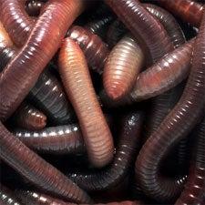 worm, Penn State, Symantec