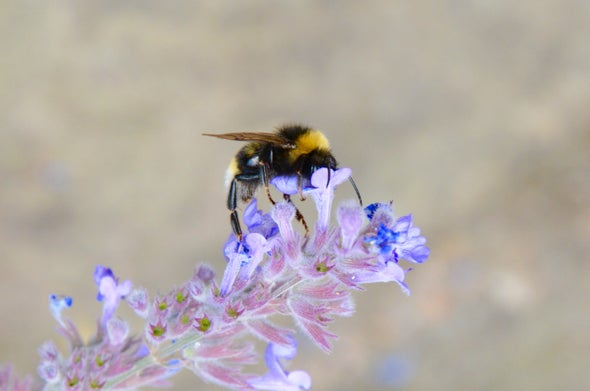 Rising Temperatures Are Partly to Blame in Bumblebees' Decline