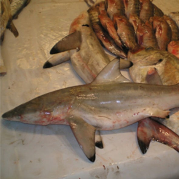 Shark Species Thought to Be Extinct Found in Fish Market [Slide Show]
