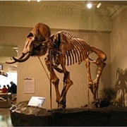 Scientists Sequence Half the Woolly Mammoth's Genome