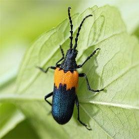 Where's the Elderberry Longhorn Beetle?