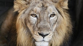 Infectious Outbreaks Threaten the Last Asiatic Lions