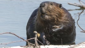 North American Beaver Invasion Occupies Forests and Steppes in Southern Chile and Argentina