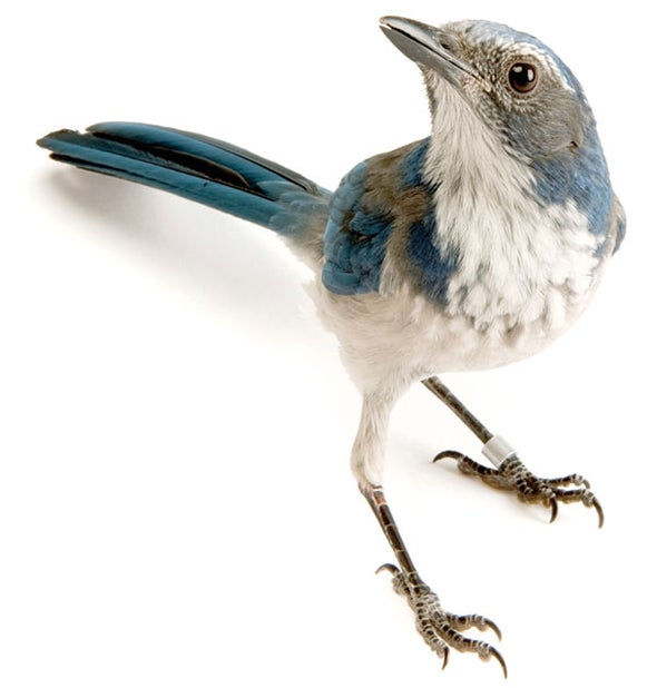Western Scrub Jays Are Capable of Metacognition