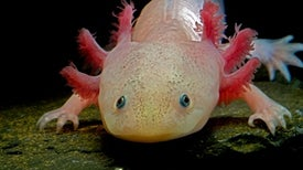 Biology's Beloved Amphibian--the Axolotl--Is Racing toward Extinction