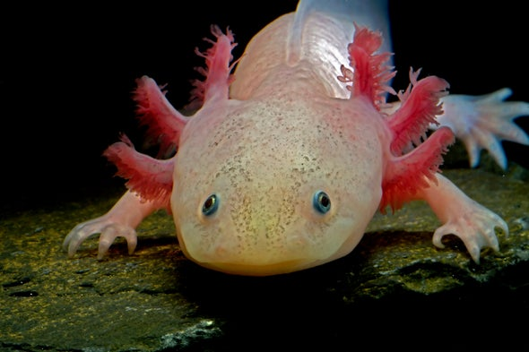 Biology's Beloved Amphibian--the Axolotl--Is Racing toward Extinction