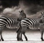 PORTRAIT OF ZEBRAS TURNING HEADS