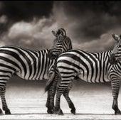 PORTRAIT OF ZEBRAS TURNING HEADS