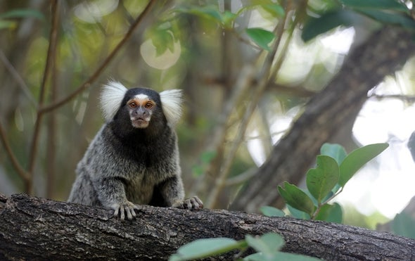 Pitch-Aware Marmosets Provide New Model for Human Hearing