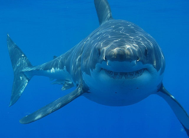 Great White Shark's Migration Tracked around Florida