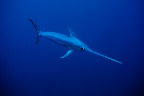 Swordfish Grease Themselves to Cut through Water