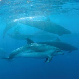 False Killer Whales and Bottlenose Dolphins Swim Together for Years