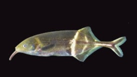 One Brainy Fish: Electric Fish from the Congo May Hold the Key to How We Move