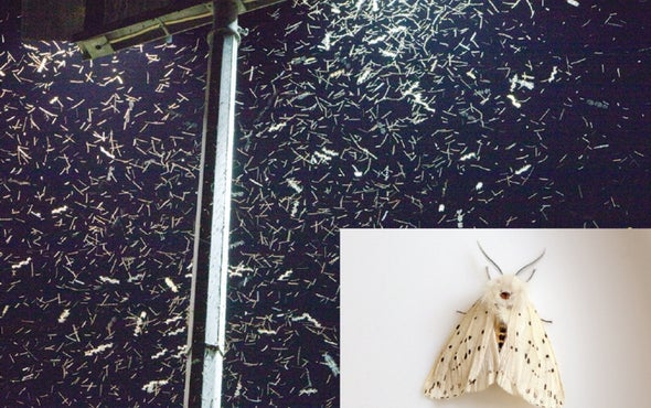 Moths in Cities Don't Flock to Bright Lights