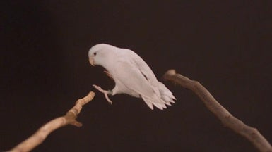 Watch This Parrotlet Nail a Long Jump
