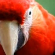 Scarlet Macaws Go Wild in Mexico