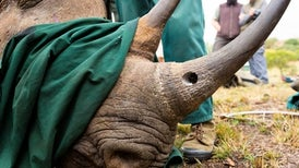 Rhino Poachers Prosecuted Using DNA Database