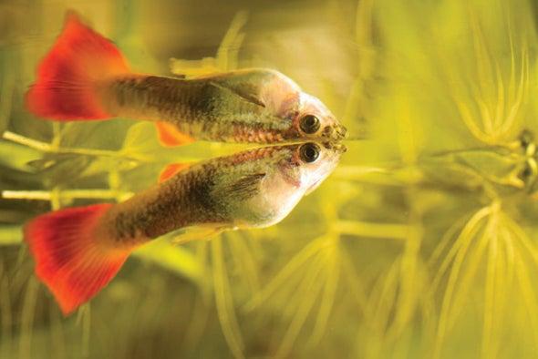 The Matador in Your Fish Tank
