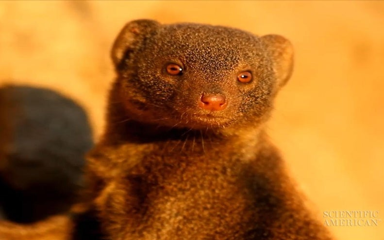 Dwarf Mongooses Struggle to Fit In and Dig In
