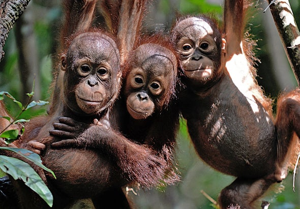 Orangutans Are Hanging On in the Same Palm Oil Plantations That Displace Them