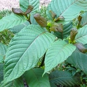 Recreational Drug Kratom Hits the Same Brain Receptors as Strong Opioids