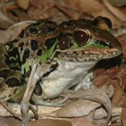 World without Frogs: Combined Threats May Croak Amphibians
