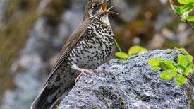 Sweet Song Gives Away New Bird Species