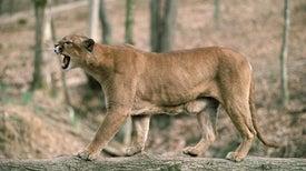 Cougar Calls Get Big Bear Reactions