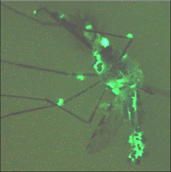 Genetically altered fungus designed to attack malaria in mosquitoes