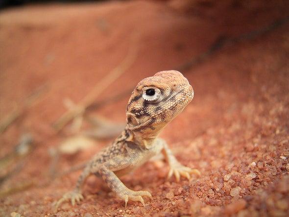 Lizards Pop Wheelies