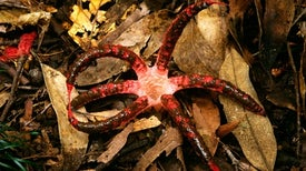 Stinkhorns, Truffles, Smuts: The Amazing Diversity--and Possible Decline--of Mushrooms and Other Fungi