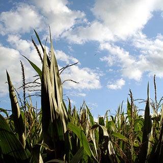Nitrogen Fertilizer: Agricultural Breakthrough--And Environmental Bane