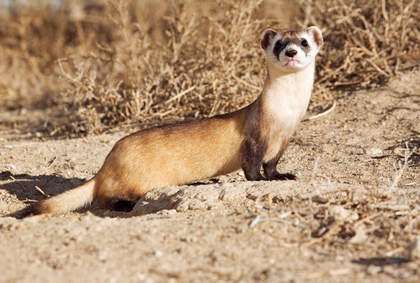 De-Extinction in Action: Scientists Consider a Plan to Reinject Long-Gone DNA into the Black-Footed Ferret Population