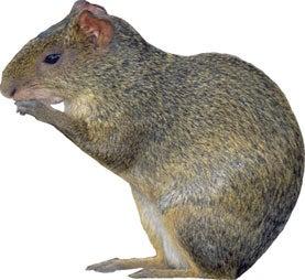 rodent, biodiversity, megafauna