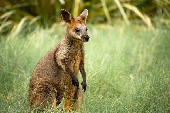 Swamp Wallaby Reproduction Give Tribbles a Run