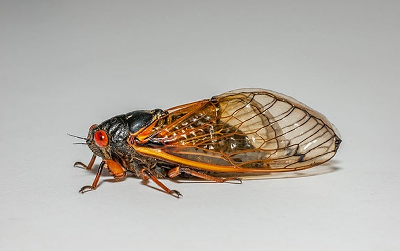 Brood Awakening: 17-Year Cicadas Emerge 4 Years Early