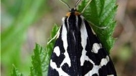 A Moth with a Potent Cocktail of Poison