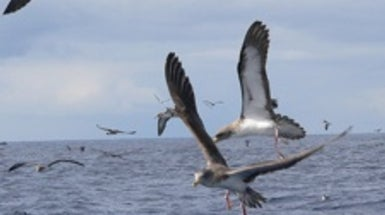 Freeloading Flap: Mediterranean Seabirds That Scrounge Off Fishing Boats Have a Smaller Foraging Range
