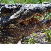A Cuban crocodile<br>