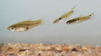Guppy Groups Provide Friendly Protection against Foes