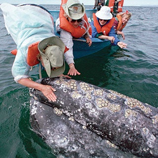 Ecotravel: Migration Sightseeing--From Gray Whales to Butterflies