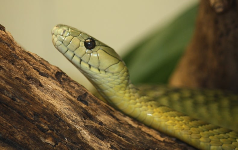 Vipers, Mambas and Taipans: The Escalating Health Crisis over Snakebites